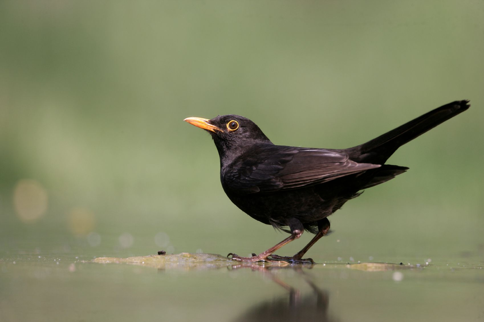 Blackbird on water